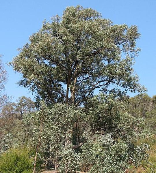 Eucalyptus à bractées multiples