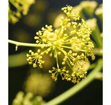 Férule gommeuse (ou Galbanum)