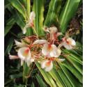 Gingembre papillon (ou longose à fleurs blanches)