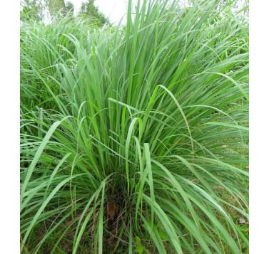 Lemongrass de l'Inde de l'Est