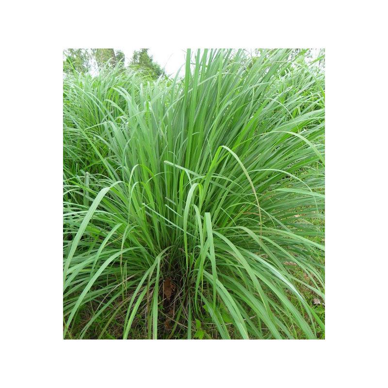 Lemongrass de l'Inde de l'Ouest