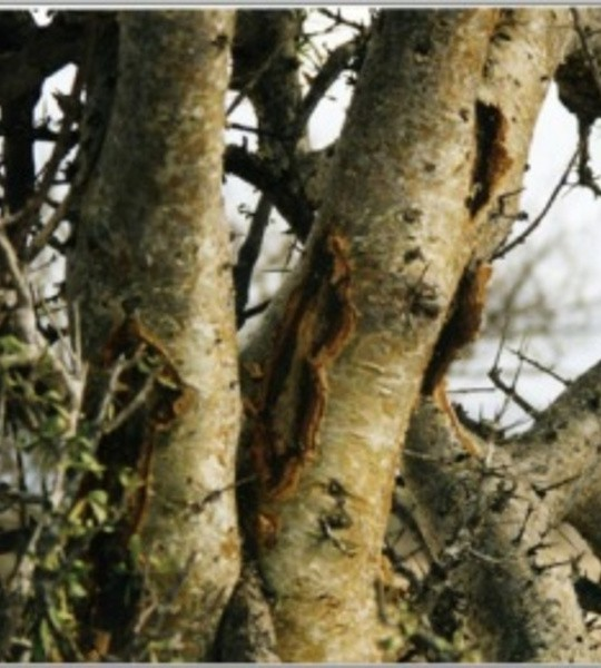 Myrrhe de Namibie
