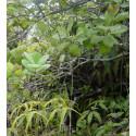Santal de Papouasie