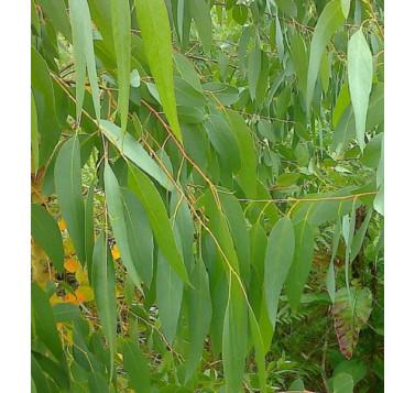 Eucalyptus gundal BIO